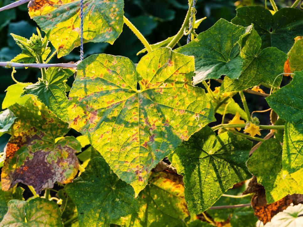 hama tanaman - agribisnis uma