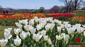 tulip - uma agribisnis